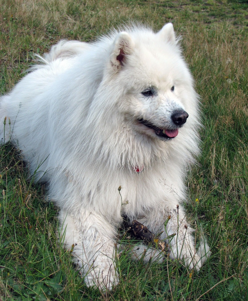 Samoyed Dog Breed Information, Puppies & Pictures